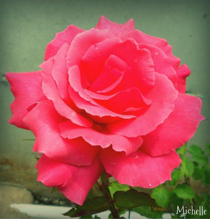 Rosebeg2