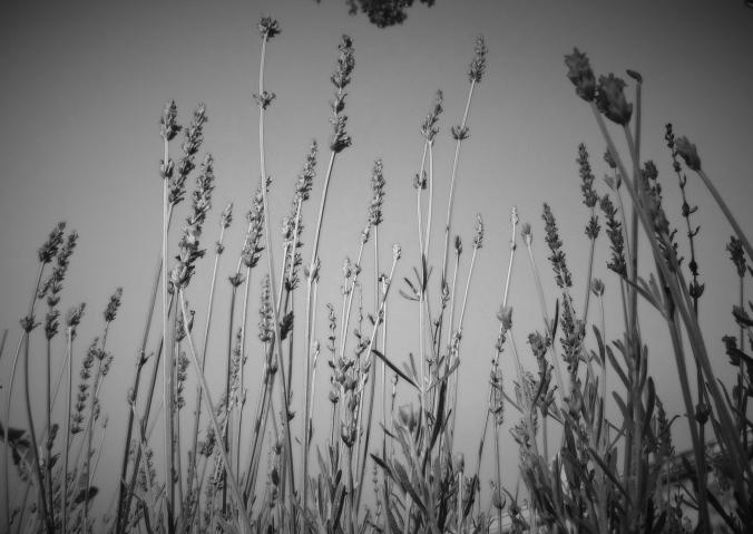 black and white lavender