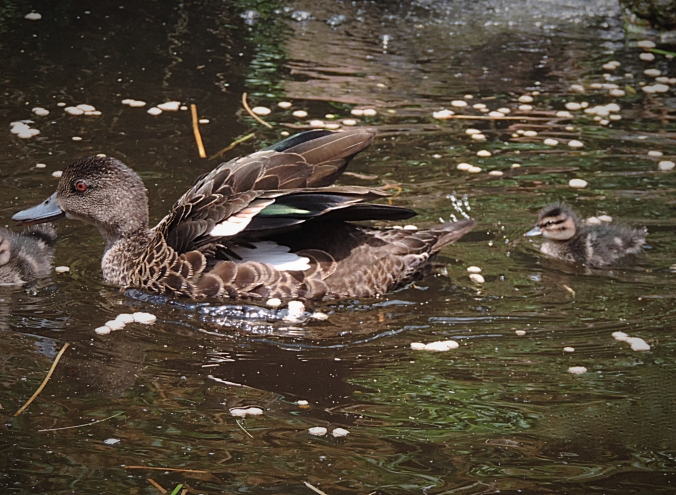 Ducklings1