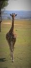 Giraffe-p