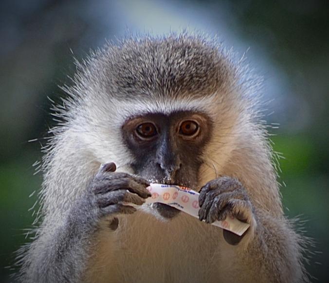 Sweet Monkey p