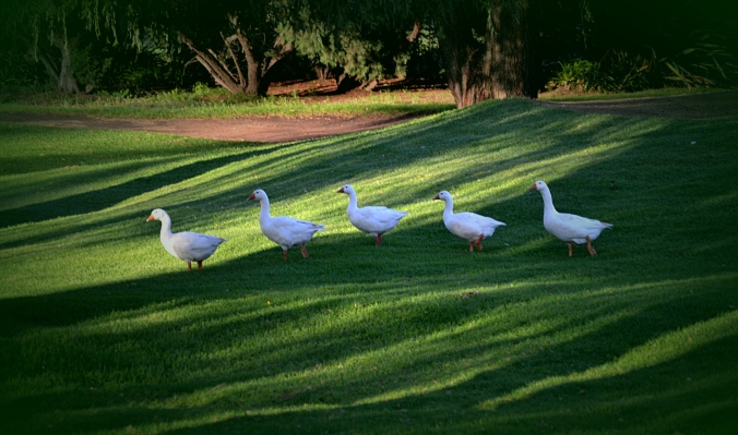 5geese